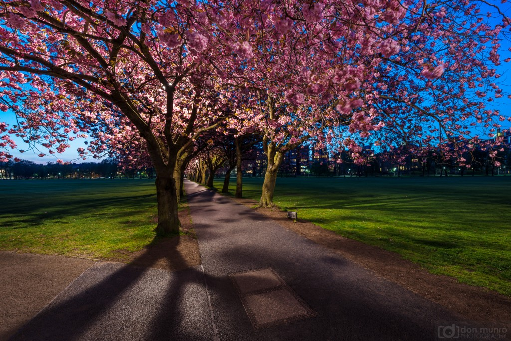 Cherry blossom in the Meadows.