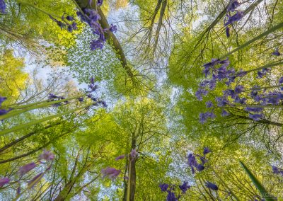 Bluebell woodland looking up