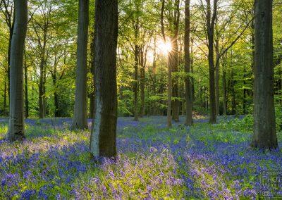 Scottish Bluebell woodland